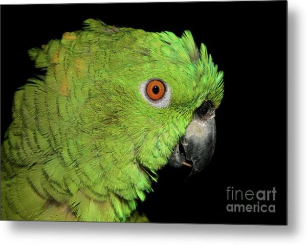 Yellow-naped Amazon Metal Print