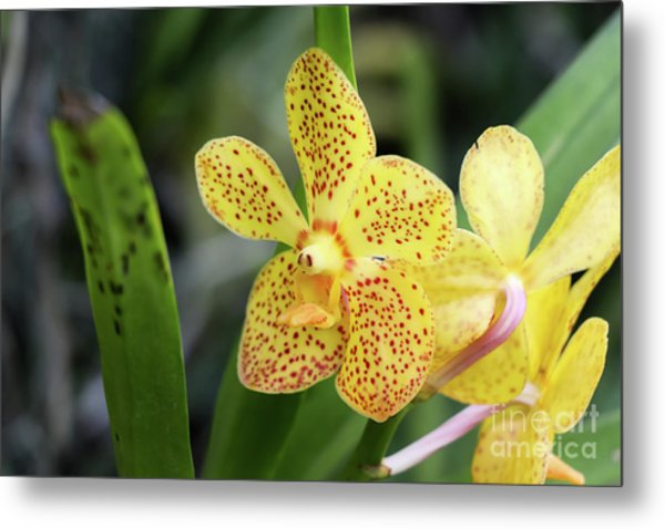 Yellow Spotted Orchids Metal Print