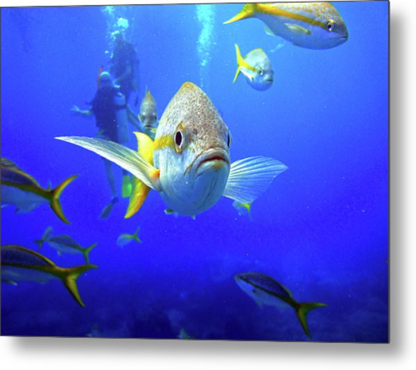 Yellowtails Metal Print