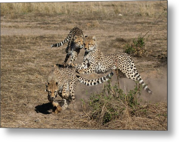 Young Cheetahs Metal Print