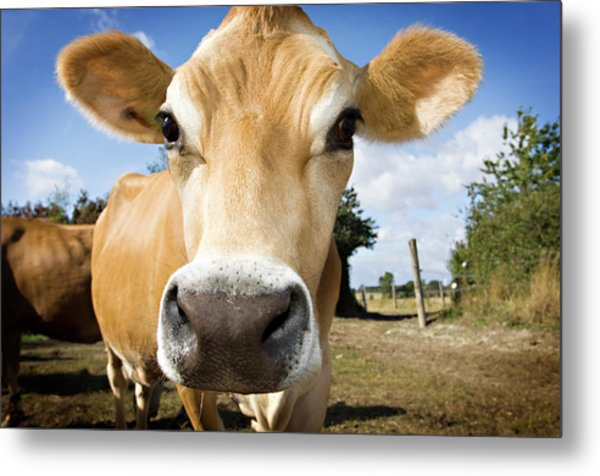 Young Jersey Cow In The Field Metal Print