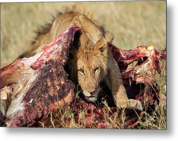 Young Lion On Cape Buffalo Kill Metal Print