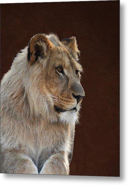 Young Male Lion Portrait Metal Print