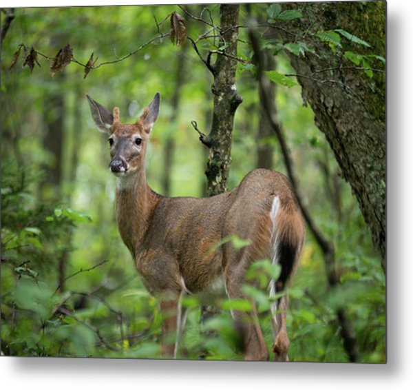 Metal Print featuring the photograph Young White-tailed Deer, Odocoileus Virginianus, With Velvet Antlers by William Dickman