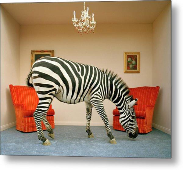 Zebra In Living Room Smelling Rug, Side Metal Print