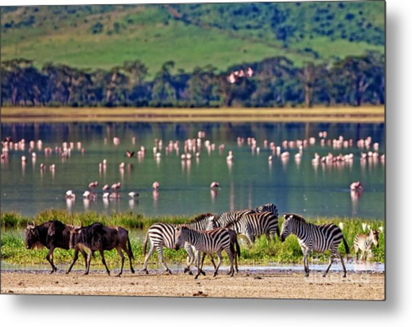 Zebras And Wildebeests Walking Beside Metal Print