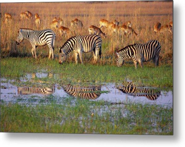 Zebras In Botswana Metal Print