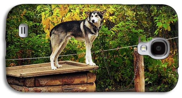 Alaskan Husky, Denali National Park Galaxy S4 Case by Michel Hersen