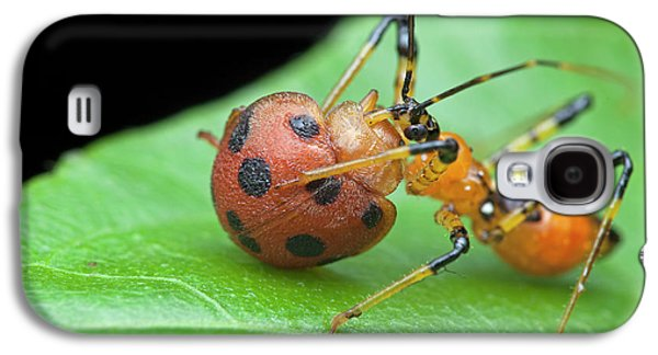 Assassin Bug Nymph Eating Ladybird Galaxy S4 Case by Melvyn Yeo