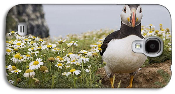 Atlantic Puffin In Breeding Plumage Galaxy S4 Case by Sebastian Kennerknecht