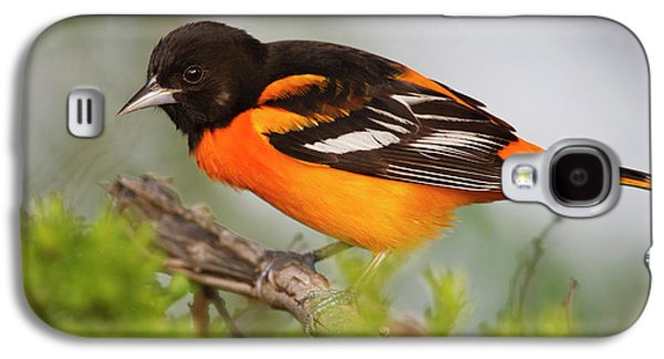 Baltimore Oriole Foraging Galaxy S4 Case