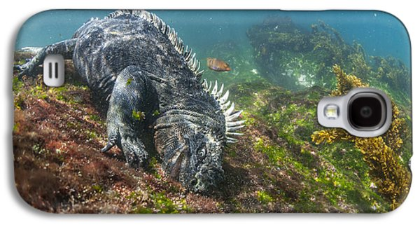 Marine Iguana Feeding On Algae Punta Galaxy S4 Case