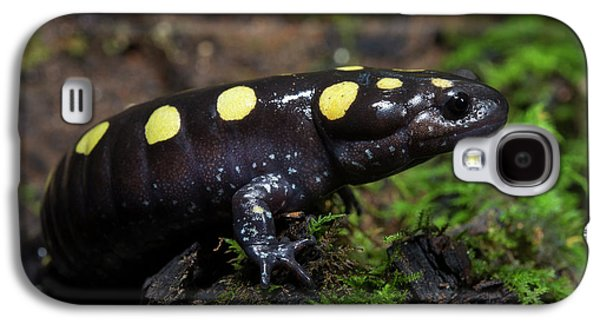 Salamanders Galaxy S4 Case - Spotted Salamander (ambystoma Maculatum by Pete Oxford