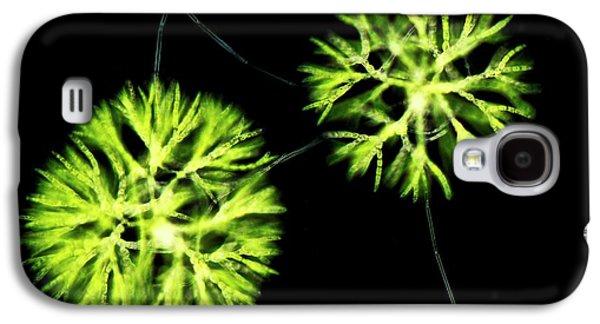 Chaerophora Freshwater Alga Galaxy S4 Case by Gerd Guenther