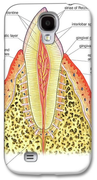 Structure Of Incisor Tooth Galaxy S4 Case