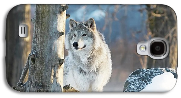 Female Gray Wolf  Canis Lupus Galaxy S4 Case by Doug Lindstrand