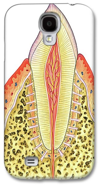 Structure Of Incisor Tooth Galaxy S4 Case by Asklepios Medical Atlas