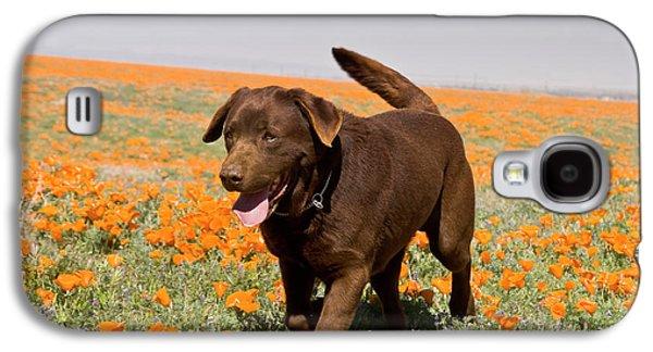 A Chocolate Labrador Retriever Walking Galaxy S4 Case by Zandria Muench Beraldo