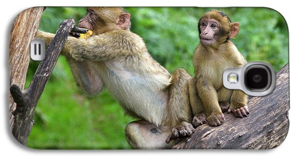 Barbary Macaques Galaxy S4 Case by Nigel Downer