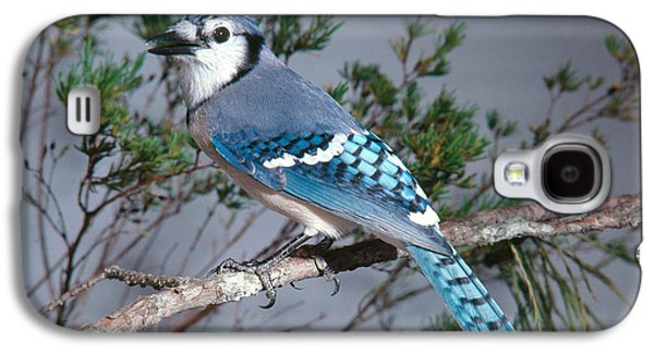 Bluejay Calling Galaxy S4 Case by John S. Dunning
