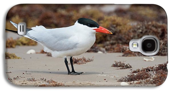 Caspian Tern (sterna Caspia Galaxy S4 Case by Larry Ditto