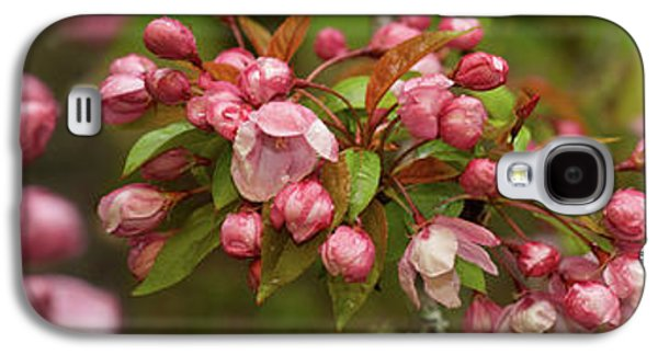 Close-up Of Cherry Blossom Buds Galaxy S4 Case by Panoramic Images