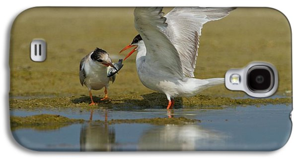 Common Tern (sterna Hirundo) Galaxy S4 Case by Photostock-israel