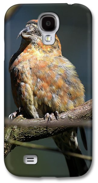 Crossbill Galaxy S4 Case - Crossbill Loxia Curvirostra Male Spain by David Santiago Garcia