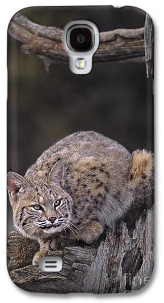 Crouching Bobcat Montana Wildlife Galaxy S4 Case by Dave Welling