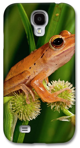 Golden Treefrog, Rhacophorus Galaxy S4 Case by David Northcott