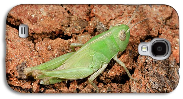 Grasshopper Aiolopus Strepens Nymph Galaxy S4 Case by Nigel Downer