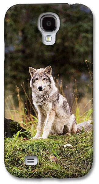 Grey Wolf  Canis Lupus  Pup Roams It S Galaxy S4 Case by Doug Lindstrand