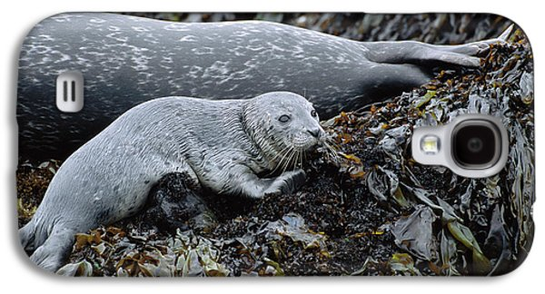 Harbor Seal Pup Resting Galaxy S4 Case