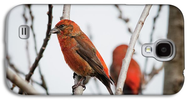 Crossbill Galaxy S4 Case - Red Crossbills Perch In A Willow by Robert L. Potts
