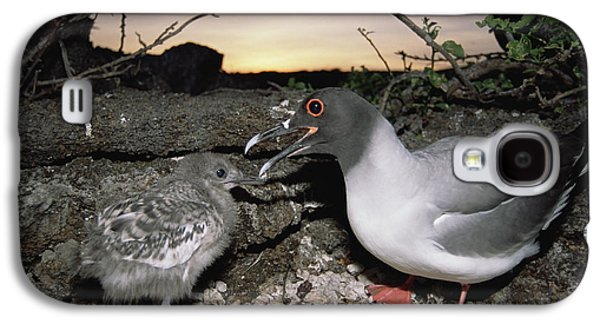 Swallow-tailed Gull And Chick In Pebble Galaxy S4 Case