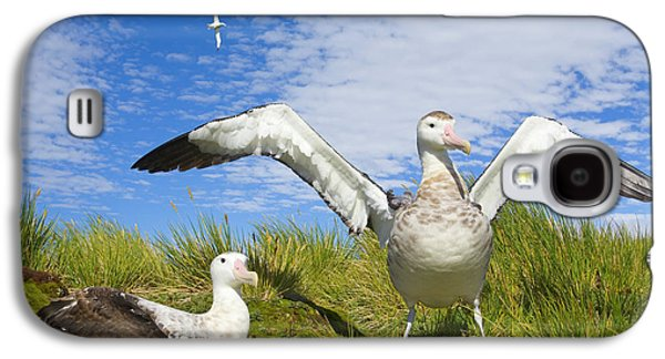 Wandering Albatross Courting  Galaxy S4 Case by Yva Momatiuk John Eastcott