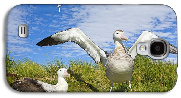 Wandering Albatross Courting  Galaxy S4 Case