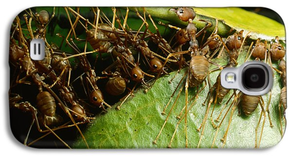 Weaver Ant Group Binding Leaves Galaxy S4 Case by Mark Moffett
