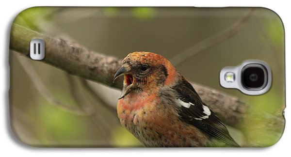 Crossbill Galaxy S4 Case - White-winged Crossbill by James Peterson