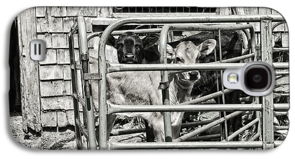 Young Cows In Pen Near Barn Maine Photograph Galaxy S4 Case