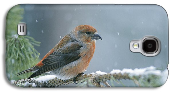 Crossbill Galaxy S4 Case - A Red Crossbill Loxia Curvirostra by Michael S Quinton