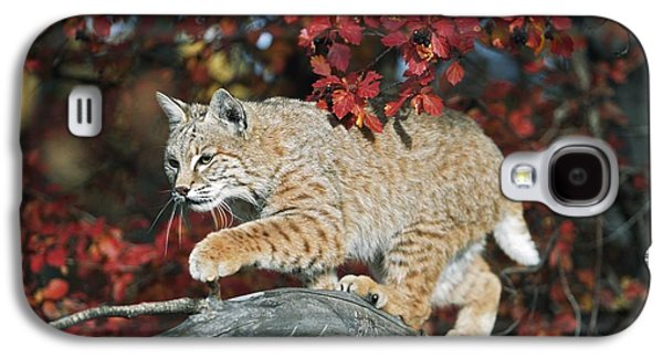 Bobcat Walks On Branch Through Hawthorn Galaxy S4 Case by David Ponton
