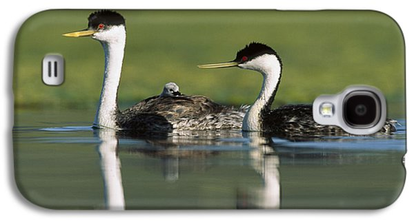 Western Grebe Couple With One Parent Galaxy S4 Case by Tim Fitzharris