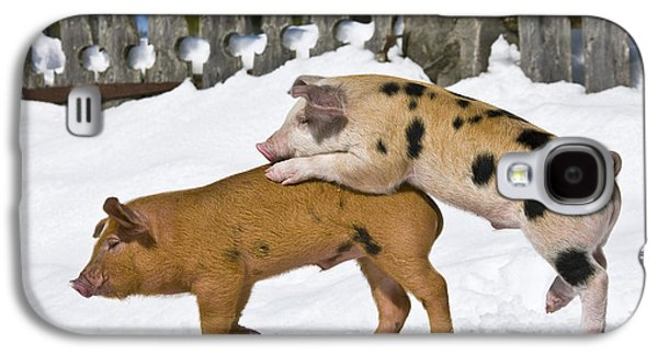 Piglets Playing In Snow Galaxy S4 Case by Jean-Louis Klein & Marie-Luce Hubert