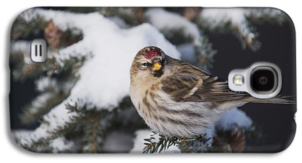 A Female Common Redpoll  Carduelis Galaxy S4 Case by Greg Martin