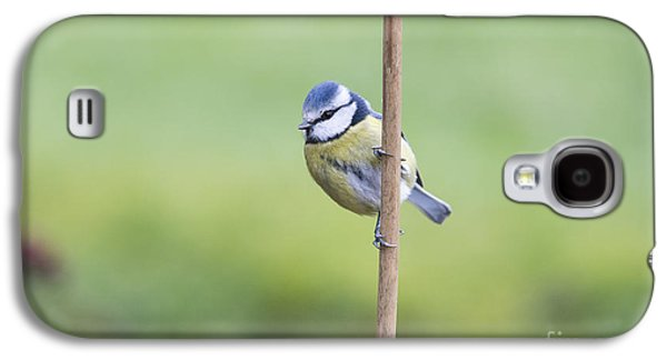 Titmouse Galaxy S4 Case - Blue Tit On A Garden Cane by Tim Gainey