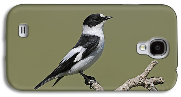 Collared Flycatcher Galaxy S4 Case by Richard Brooks/FLPA