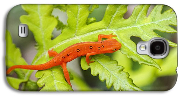 Red Eft Eastern Newt Galaxy S4 Case by Christina Rollo