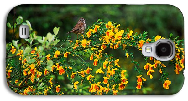 Song Sparrow Bird On Blooming Scotch Galaxy S4 Case by Panoramic Images