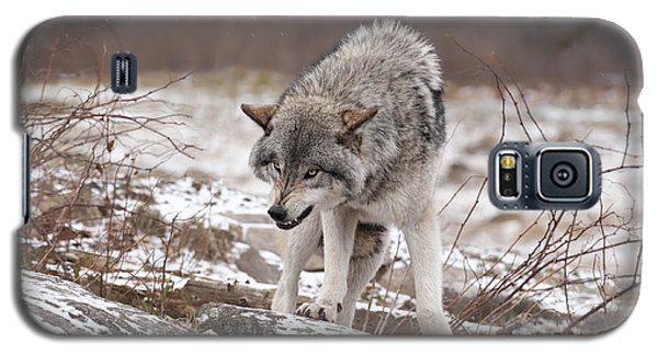 Galaxy S5 Case featuring the photograph Adult Timber Wolf by Wolves Only